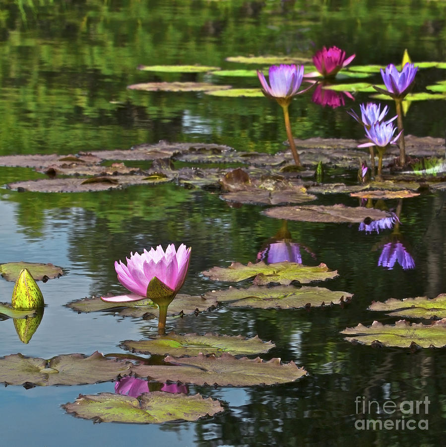 Aquatic Photograph - Water Lily Jewels by Crystal Garner