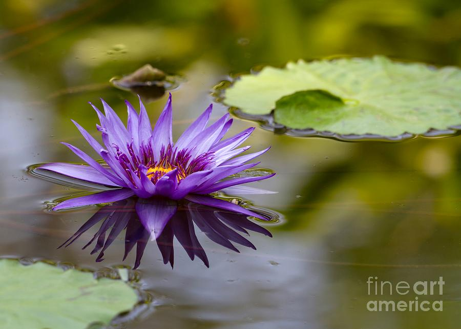 Water Lily Photograph - Water Lily Kissing The Water by Sabrina L Ryan