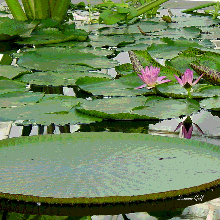 Water Lily Photograph - Water Lily Land IIi by Suzanne Gaff
