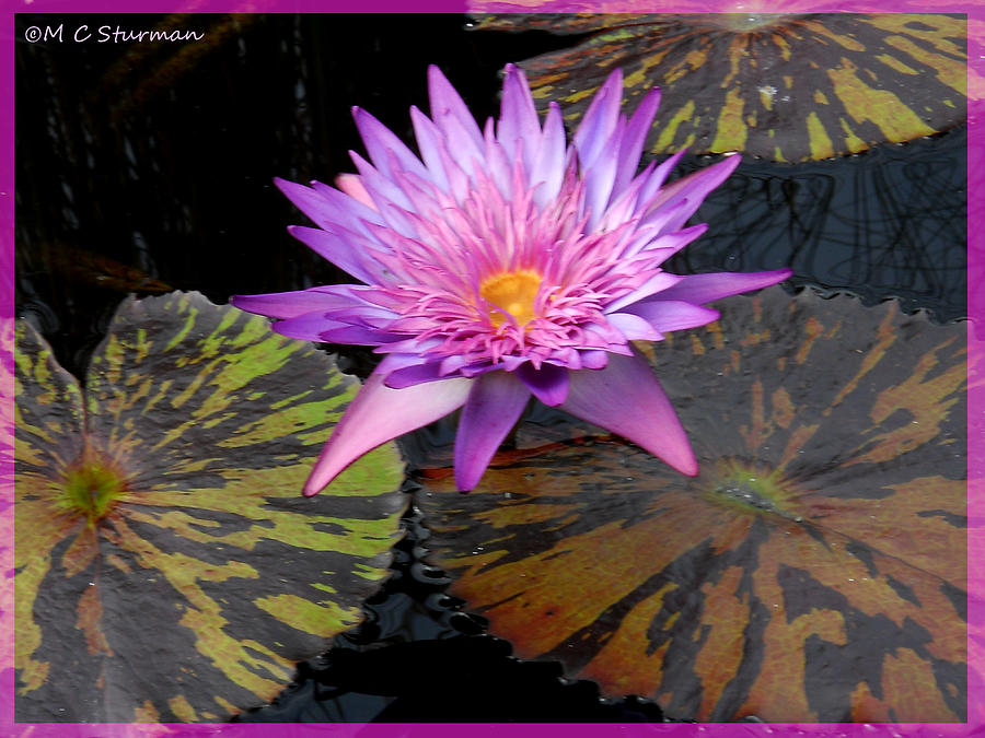 Waterlily Mixed Media - Water Lily Magic by M c Sturman