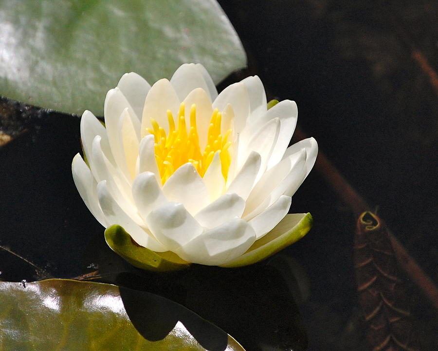 Water Lily by Mary McAvoy