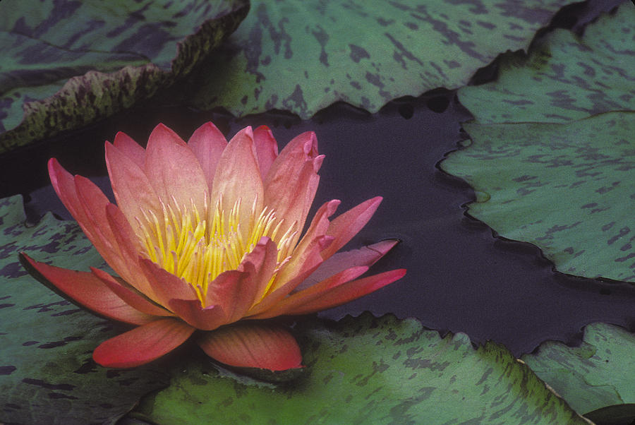 Water lily by Ralph Fahringer