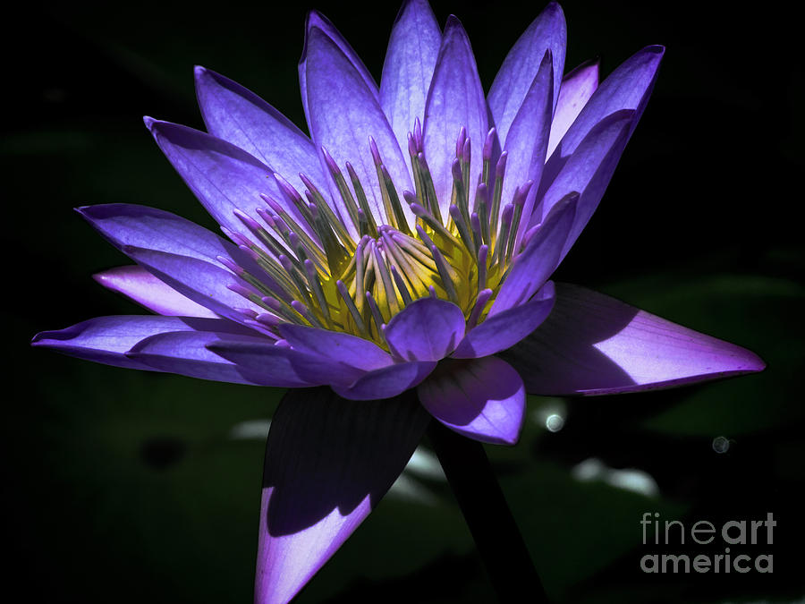 Water Lily Photograph - Water Lily  Reveal by Karen Lewis