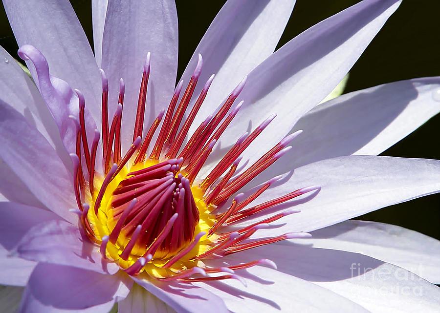 Macro Photograph - Water Lily Soaking Up The Sun Light by Sabrina L Ryan