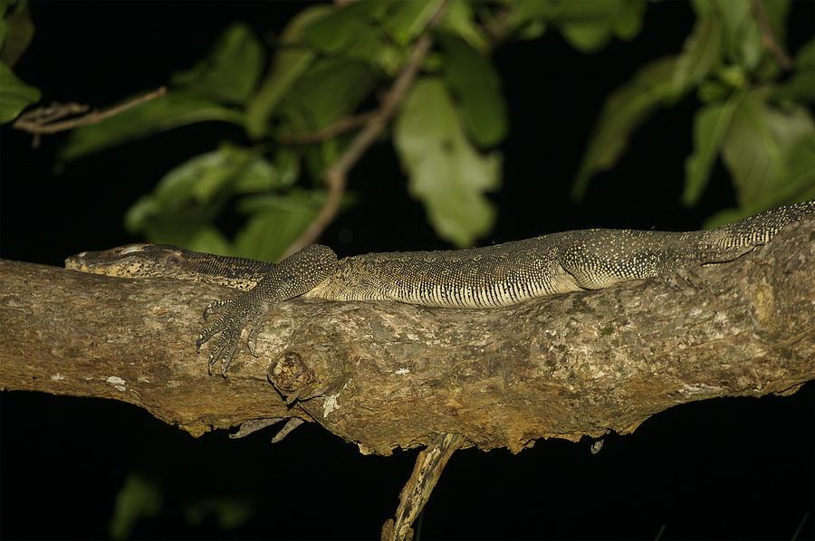Varanus Salvator Photograph - Water Monitor Lizard Sleeping On Branch by Tim Laman