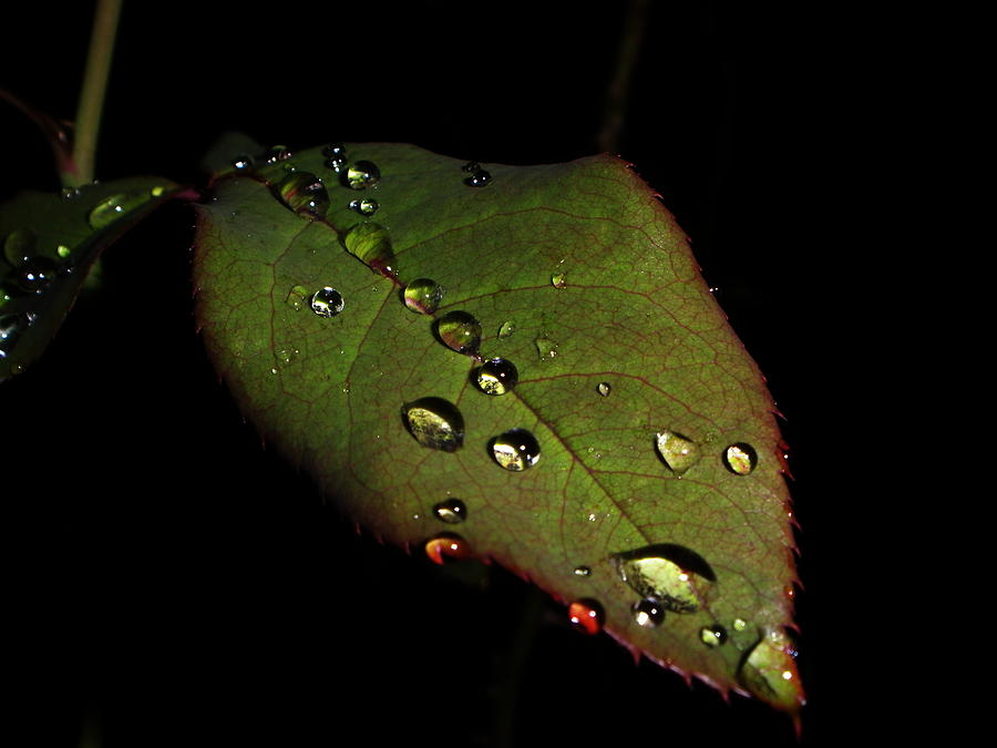 Water Leaf Photograph - Watered-leaf by Rosvin Des Bouillons