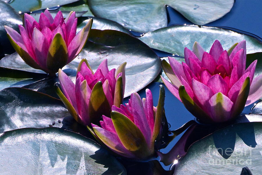 Pink Water Lilies Photograph - Waterlilies In Bright Sunlight by Byron Varvarigos