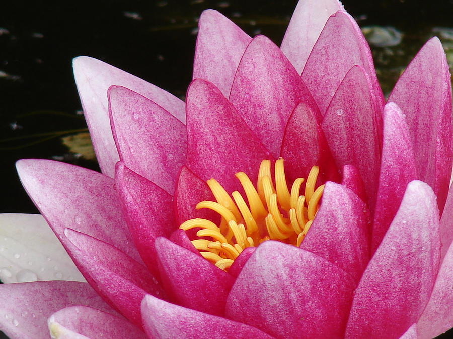 Pink Photograph - Waterlily Close-up by Nicola Butt