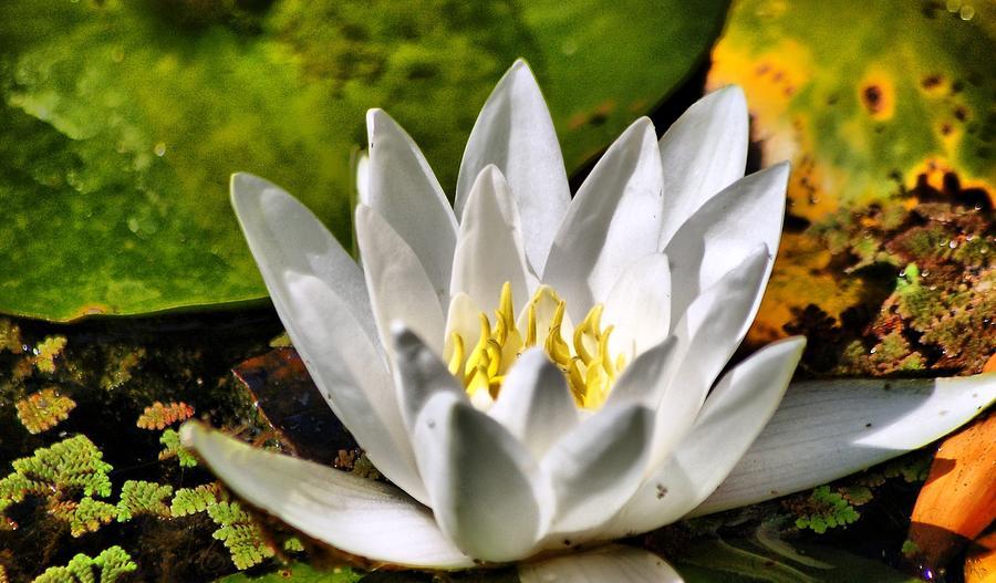 Waterlily Photograph by Meeli Sonn