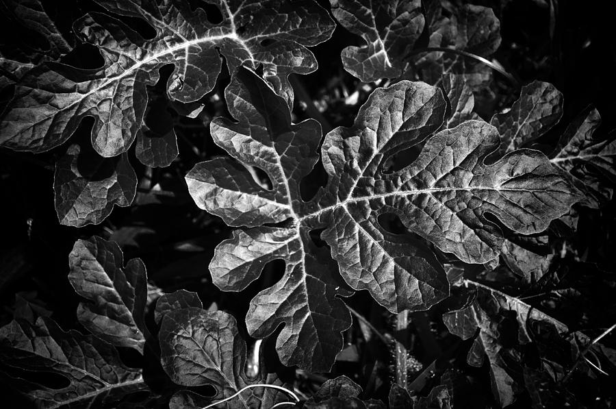 Watermelon Photograph - Watermelon Leaves by Tom Bell