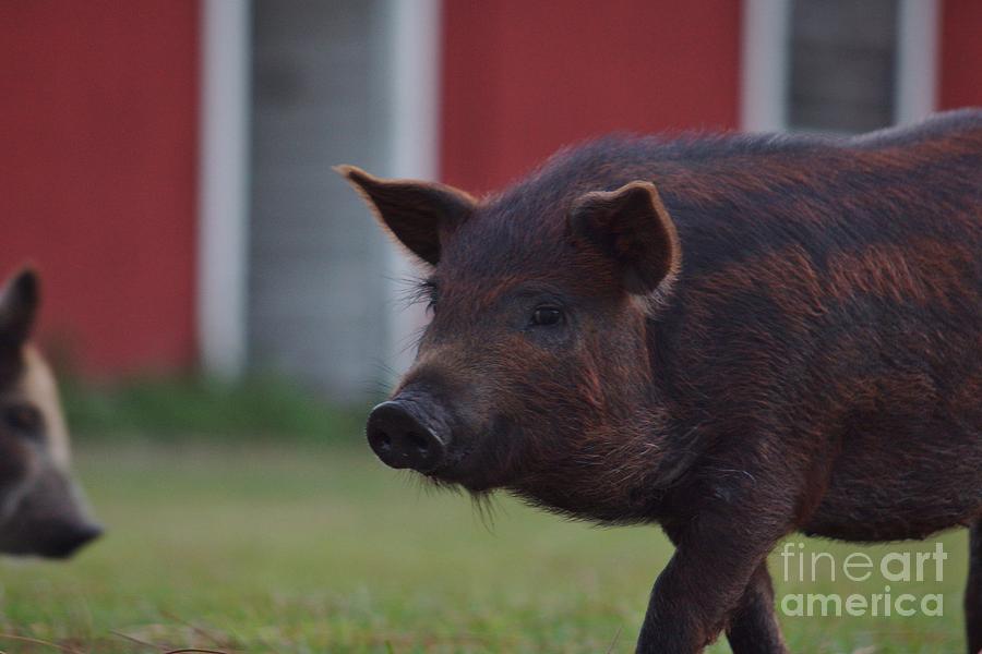 Pig Photograph - Watermelon by Lynda Dawson-Youngclaus
