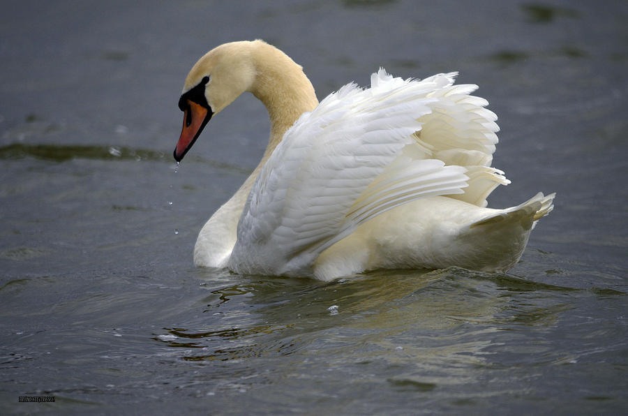 Swans Photograph - Wave Action by Brian Stevens