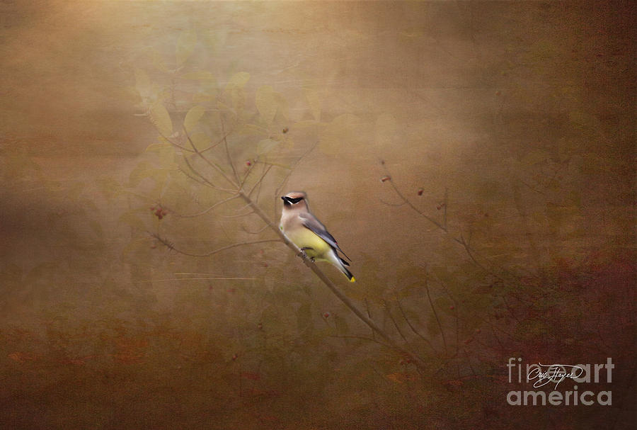 Art Prints Photograph - Waxwing Spring Visit by Cris Hayes