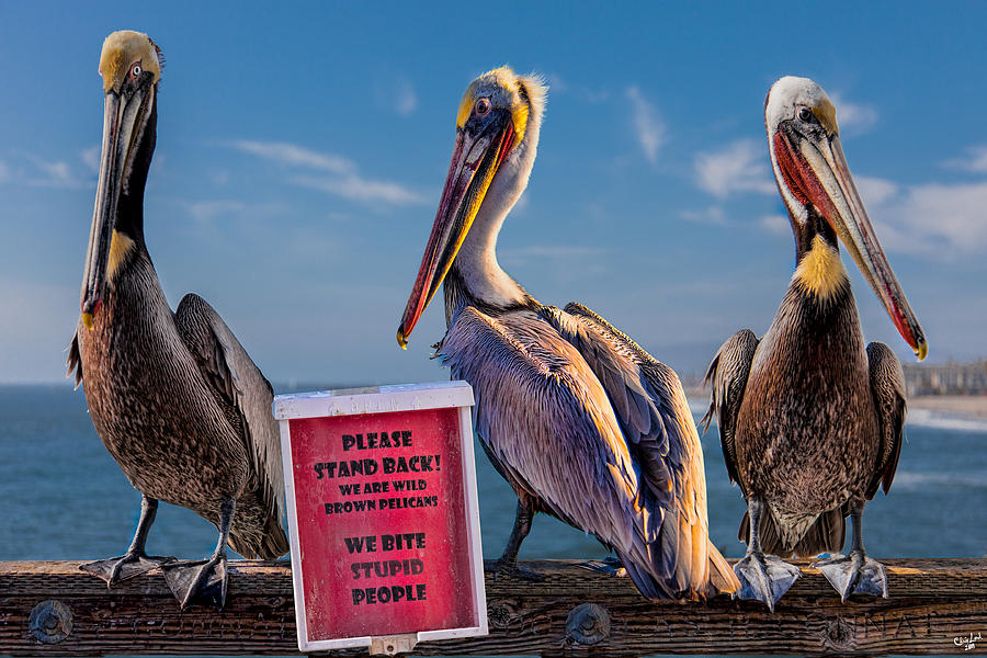 Pelican Photograph - We Bite Stupid People by Chris Lord