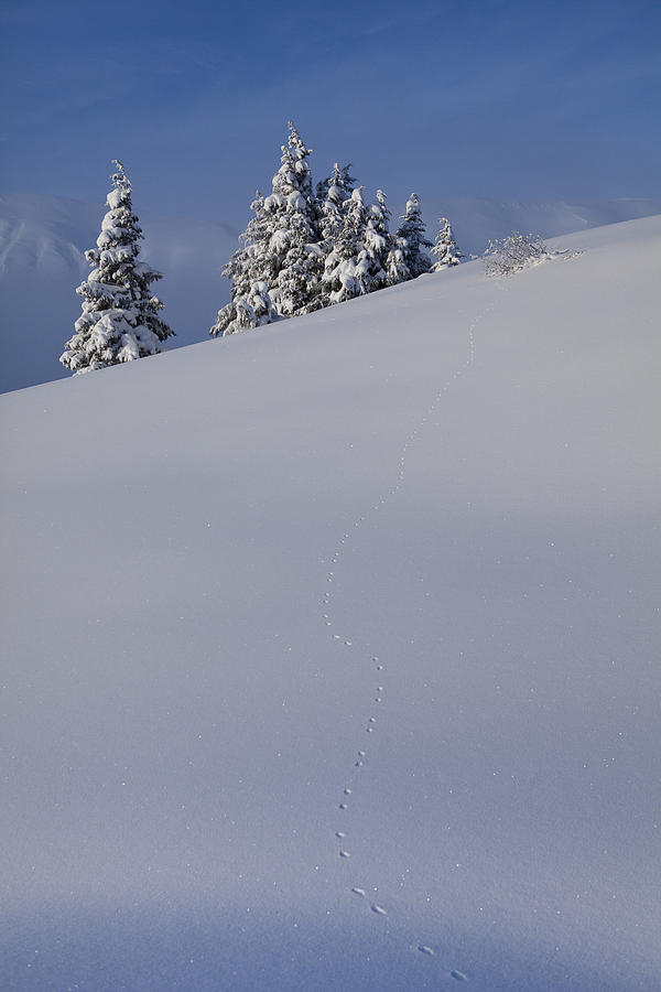 Alaska Photograph - Weasel Tracks In The Snow by Tim Grams