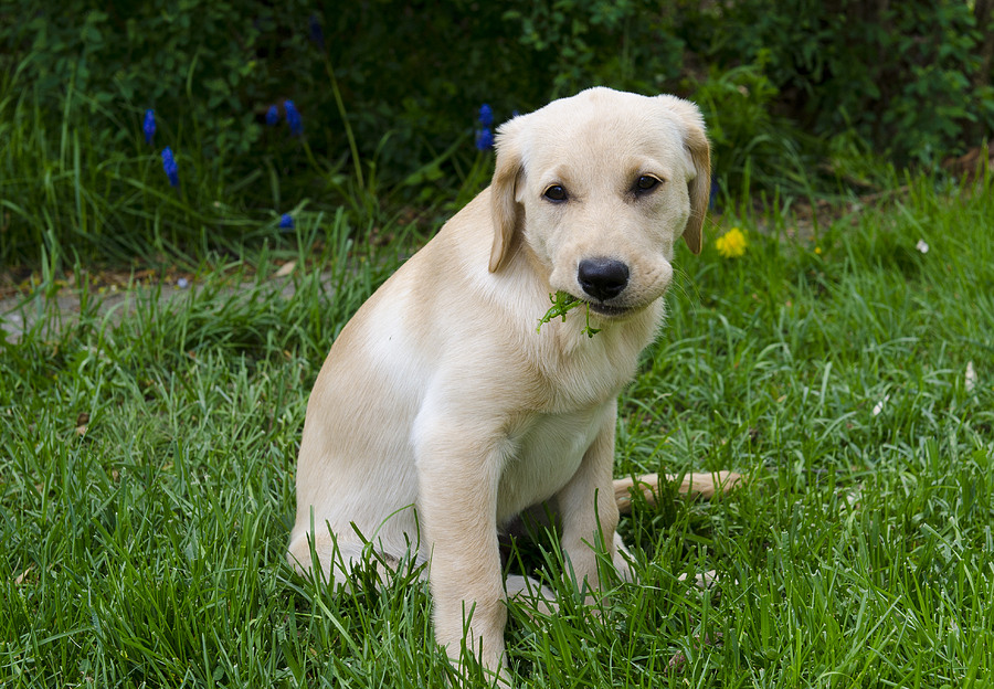 Yellow Lab Photograph - Weedeater by Loree Johnson