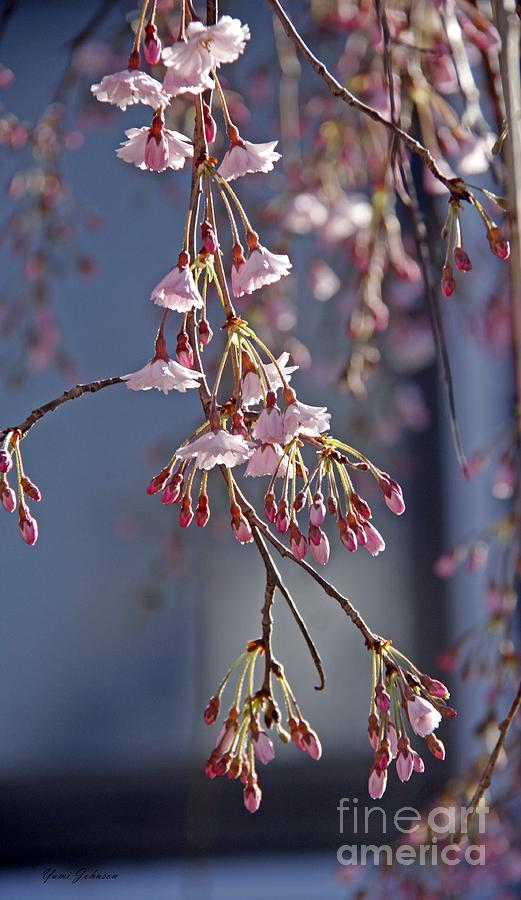 Weeping Cherry Blossom Photograph By Yumi Johnson