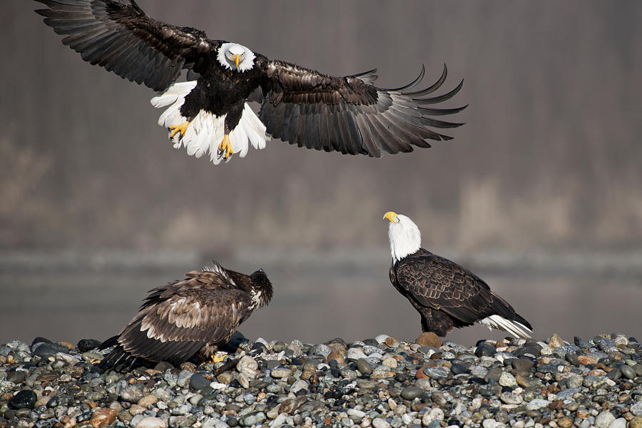 Bald Eagles Photograph - Welcome by Yoshiki Nakamura