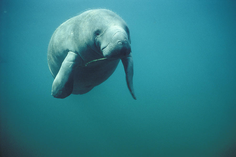 Mp Photograph - West Indian Manatee Trichechus Manatus by Tui De Roy