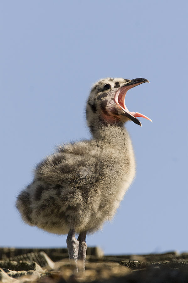 Animal Behavior Photograph - Western Gull Chick Begging For Food by Sebastian Kennerknecht