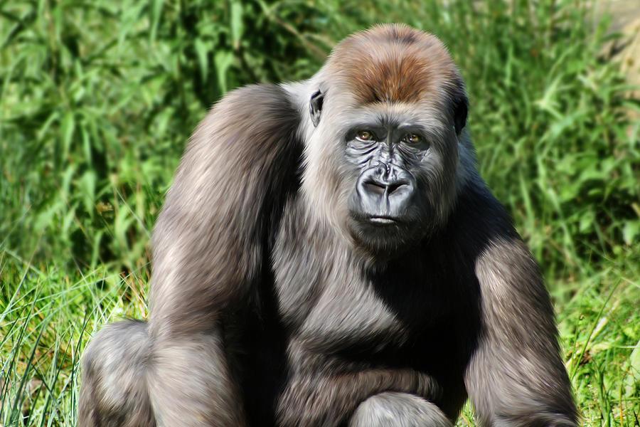 Ape Digital Art - Western Lowland Gorilla Female by Julie L Hoddinott