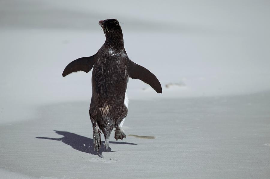 Western Rockhopper Penguin Photograph - Western Rockhopper Penguin by Charlotte Main
