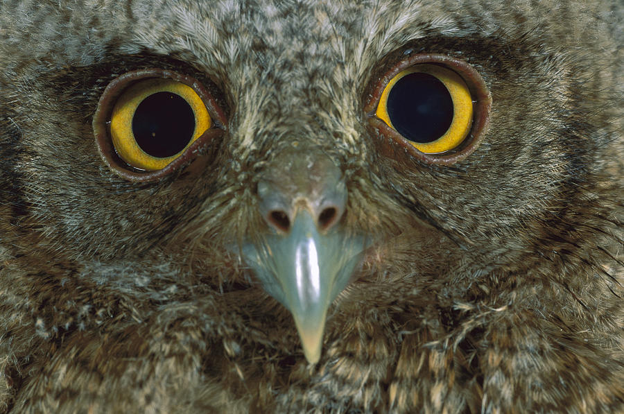 Western Screech Owl Otus Kennicottii Photograph by Christian Ziegler