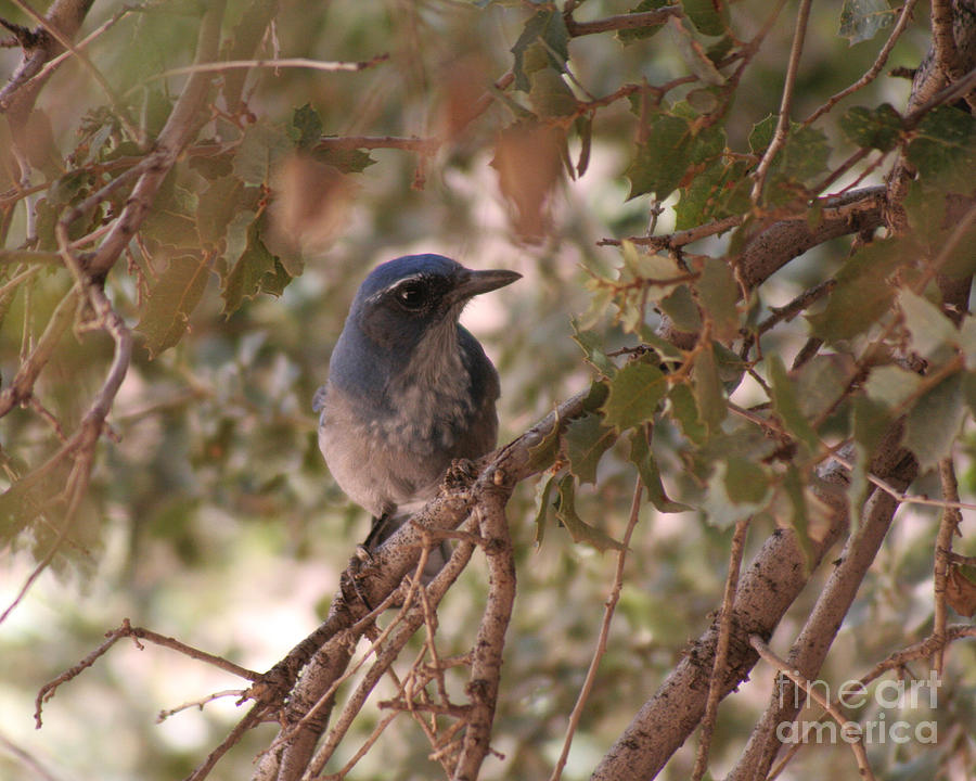 Western Scrub Jay Photograph - Western Scrub Jay by Chris Hill