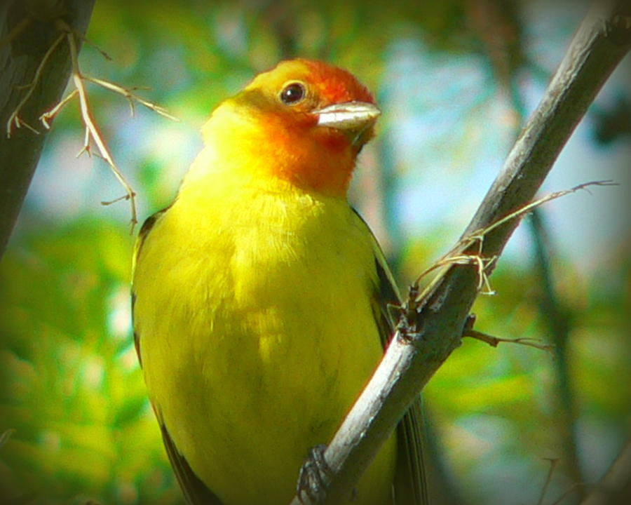 Birds Photograph - Western Tanager by Carol Norman