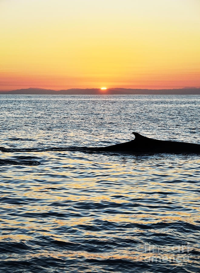 Whale Photograph - Whale At Sunset by Timothy OLeary