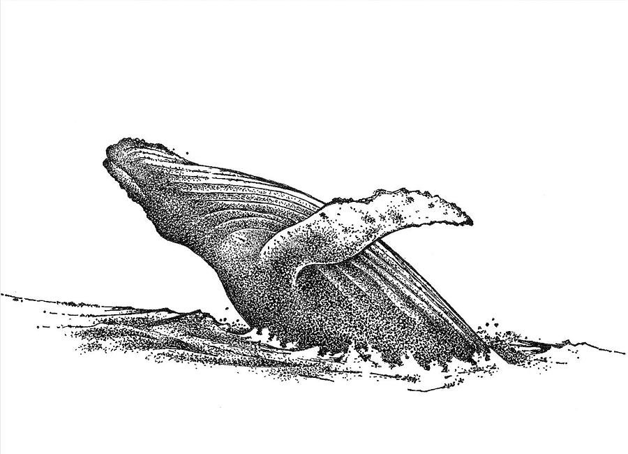 Line Drawing Whale : Whale drawing by rob m harper
