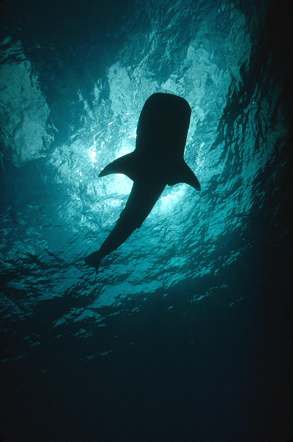 Whale Shark Silhouette Cocos Island Photograph by Flip Nicklin