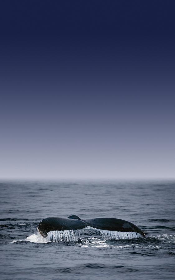 Animal Photograph - Whales Fluke by Darren Greenwood