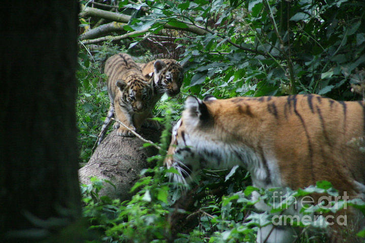Tiger Photograph - What You Doing by Carol Wright