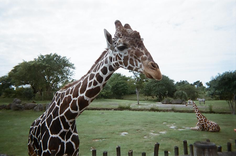 Giraffe Photograph - Whats Up by Val Oconnor