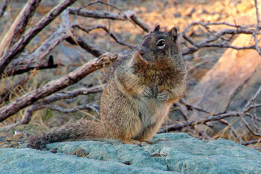 Squirrels Photograph - Whats Yer Hurry.. by Al  Swasey