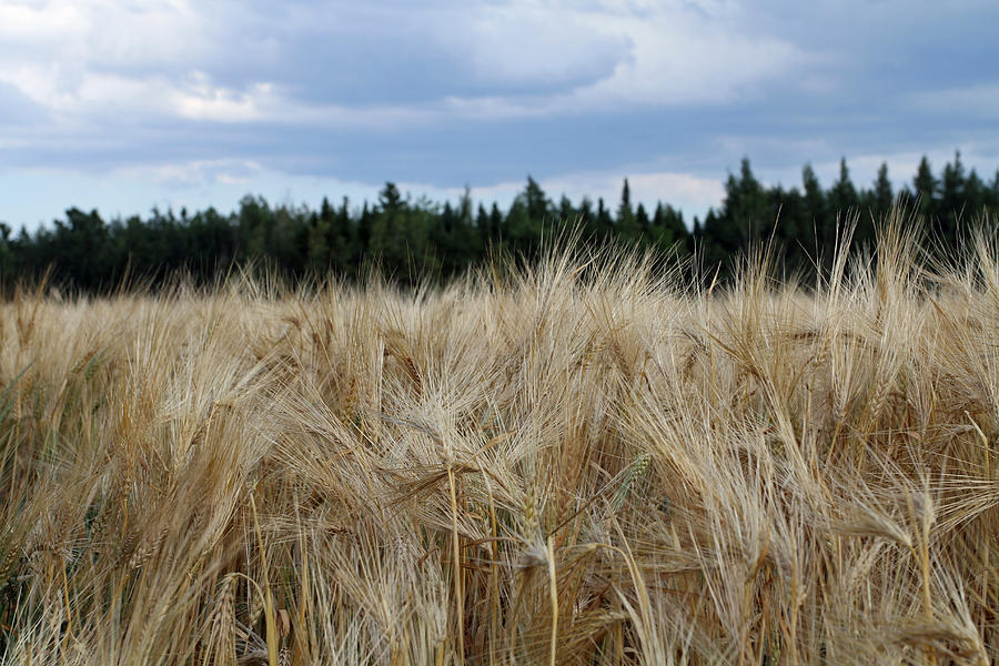 Wheat Field Photograph - Wheat Field by Gord Patterson