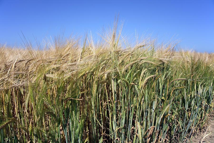 Agricultural Photograph - Wheat Field (triticum Sp.) by Victor De Schwanberg