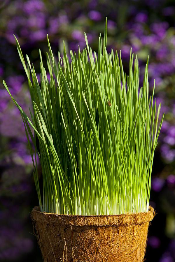 Wheat Grass Photograph - Wheat Grass by Kelley King