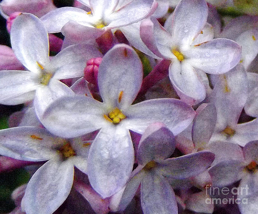 Lilac Photograph - When Lilacs Last In The Dooryard Bloomd by Janeen Wassink Searles