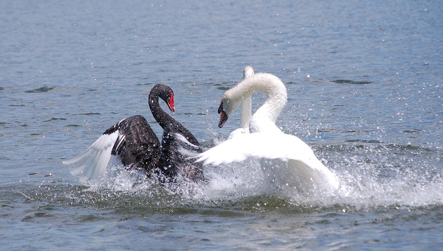Black Swan Photograph - When Swans Attack by Carrie Munoz