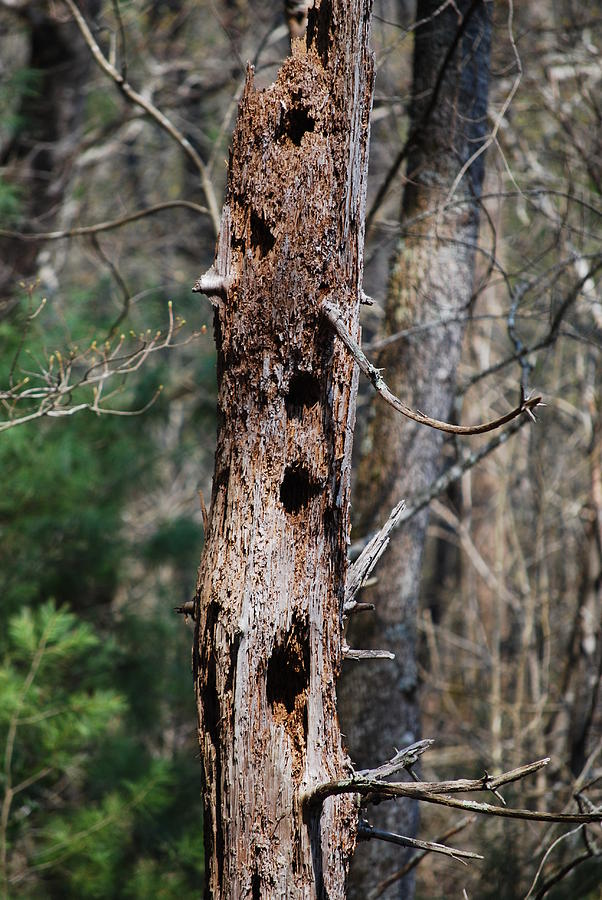 Trees Photograph - When Woodpeckers Attack by Carrie Munoz