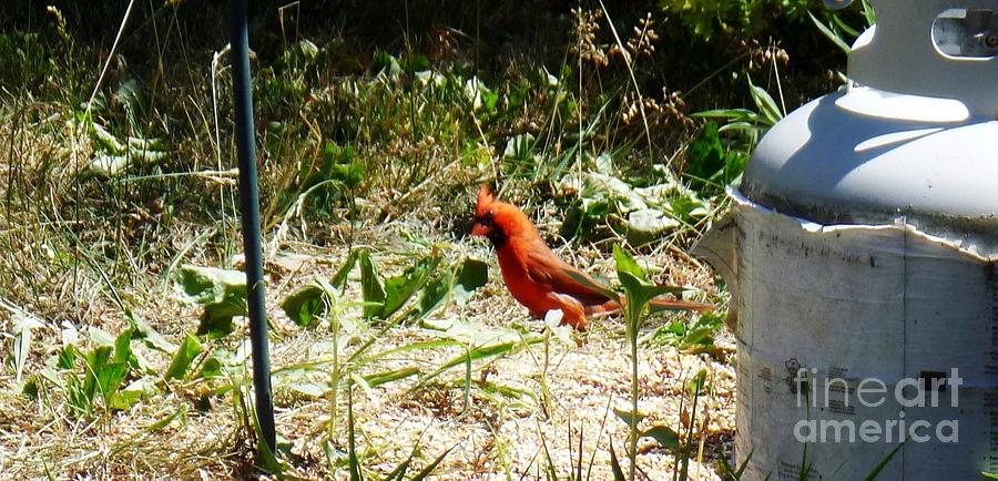 Cardinal Photograph - Where Did I Leave My Keys?? by Alys Caviness-Gober
