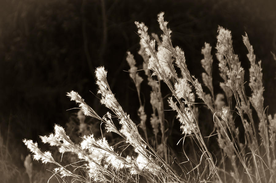 Grass Photograph - Whisper Gently by Carolyn Marshall