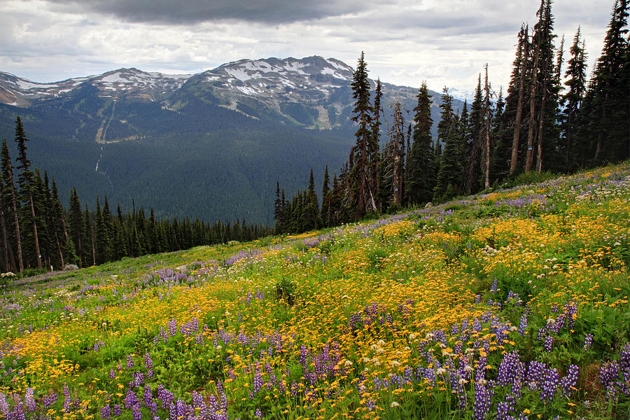 Whistler Photograph - Whistler Blackcomb Wild Flowers In Bloom by Pierre Leclerc Photography