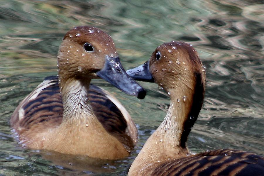 Whistling Duck Photograph - Whistling Ducks by Paulette Thomas