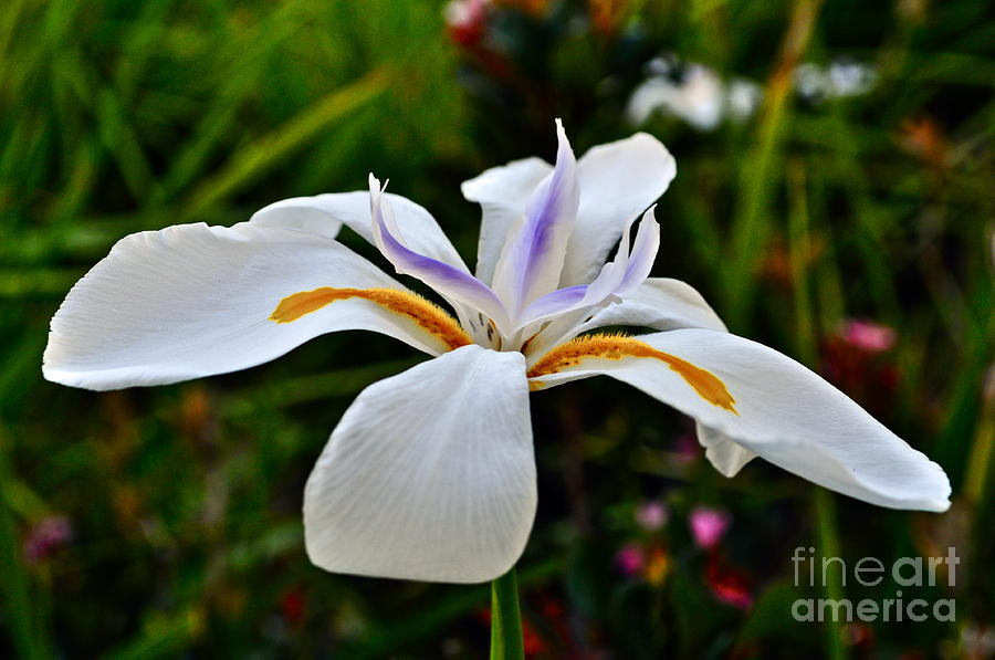 Iris Photograph - White African Iris by Gwyn Newcombe