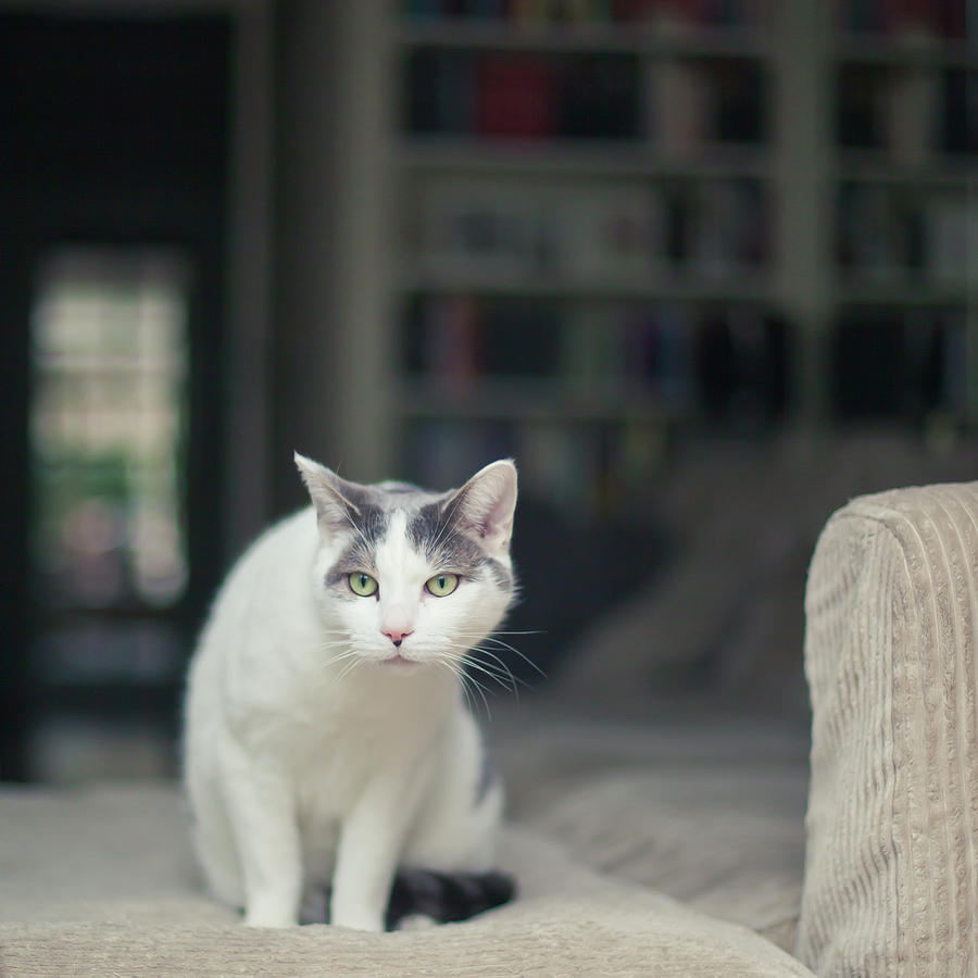 white and grey cat on couch looking at birds photograph by. Black Bedroom Furniture Sets. Home Design Ideas