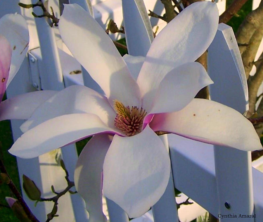 Pink Photograph - White And Pink Magnolia by Cynthia Amaral