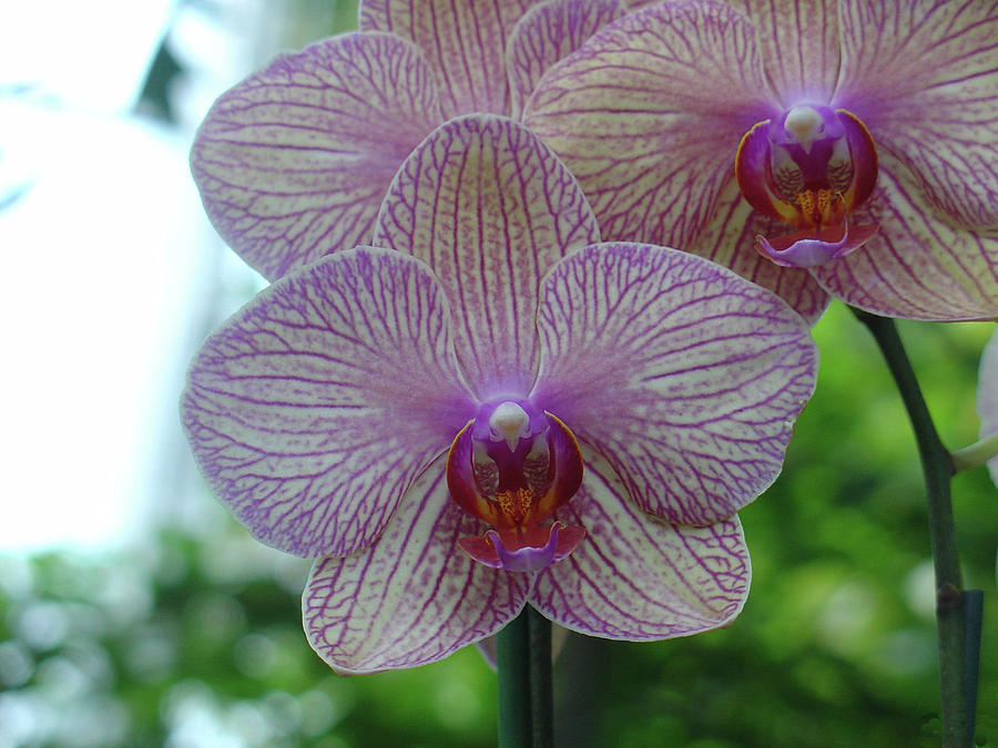 White and Pink Orchid by Charles and Melisa Morrison